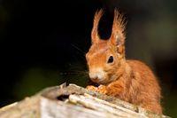 Eichhörnchen am Vogelhaus