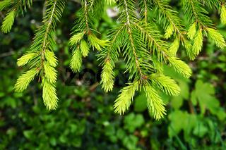 Fichte, Fichtentriebe, picea abies, spruce shoots