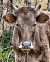 Brown Caucasian cow