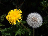 close up of a dandelion flower and puff ball next to each other on a dark background
