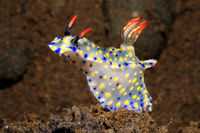 Nudibranch, Hypselodoris roo