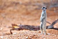 Erdmaennchen, Kgalagadi-Transfrontier-Nationalpark, Südafrika, (Suricata suricatta) | Meerkat, Kgalagadi Transfrontier National Park, South Africa, (Suricata suricatta)