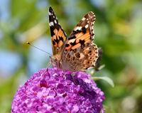 Distelfalter, Cynthia, cardui, Schmetterlingsstrauch