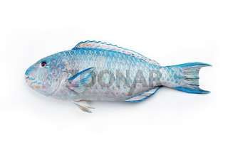 Fresh saltwater parrotfish as top view on white background with copy space – isolated
