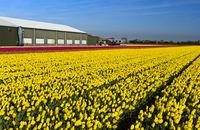 Feld mit gelben Tulpen der Sorte Yellow Purissima, Blumenzwiebelregion Bollenstreek, Niederlande