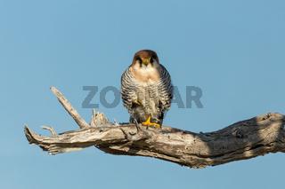 red-necked falcon Namibia Africa safari wildlife