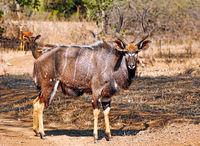 Nyala, männlich, Majete Wildlife Reserve, Malawi, (Equus quagga) | Nyala, male, Majete Wildlife Reserve, Malawi, (Nyala angasi)