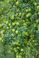 A branch full of ripe green apples
