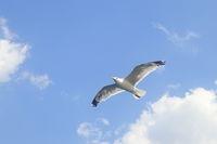 fliegende Lachmöwe am Himmel