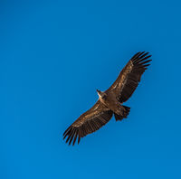 A griffon vulture flying in a blue sky