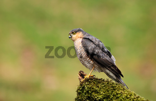 Eurasian Sparrowhawk perching on a mossy post