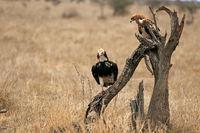 Adler und Geier