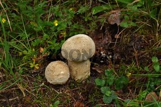 Beutelstäubling, Lycoperdon excipuliforme, pestle puffball