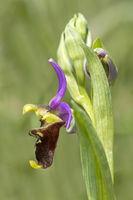 Seitenansicht einer Blüte der Hummel-Ragwurz (Ophrys fuciflora)