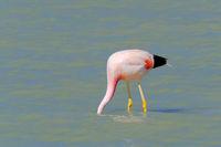 Andean Flamingos, phoenicoparrus andinus, feeding at Laguna Brava near Paso Pircas Negras, Argentina