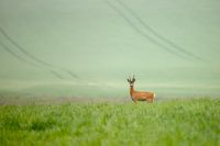 Wild deer in agricultural country walking on a green field in summer.