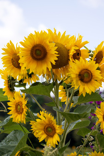 Sonnenblumen 011