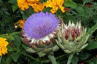 Lila Blüte der Artischocke (Cynara cardunculus, Syn. Cynara scolymus)