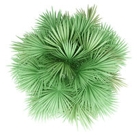 sabal palm tree isolated on white background. top view