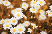 autumn field with daisies