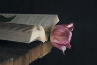 Pink tulip in an open book in low light