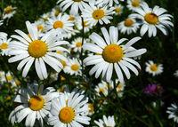 Margeriten; Magerwiesen-Margerite; Leucanthemum vulgare;