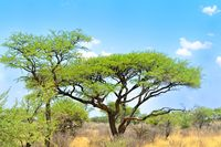Buschland mit Akazien Namibia