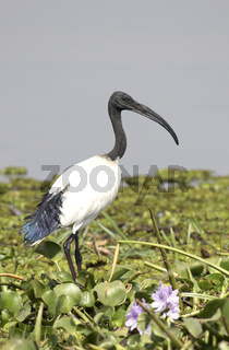 African sacred ibis standing on the boggy shore of Lake Albert among the green grass