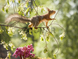 red squirrel is walking on flower branches