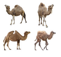 Camels isolated on white