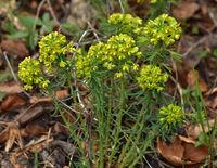 Zypressen-Wolfsmilch,Euphorbia cyparissias, cypress spurge