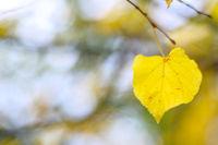 Golden linden leaf
