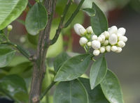 Abundance white orange flower buds