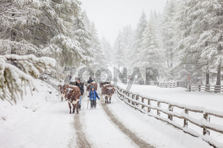 Cows in mountain snowy valley
