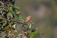 Pink-browed rosefinch, Carpodacus rhodochrous, Mukteshwar, Uttarakhand, India