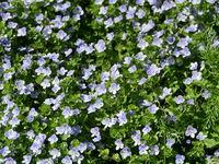 Forest scented violet