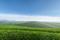 tea plantation in spring morning