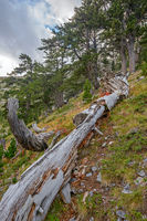 Fallen tree trunk in mountain forest