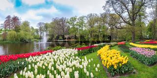 Tulip flower bulb field in the garden, Panorama spring season in Amsterdam Netherlands