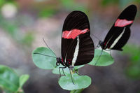 The red postman, Heliconius erato