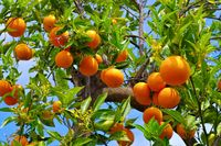 Orange am Baum - many ripe orange fruits on tree