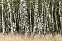 Birch forest with grass in the foreground