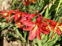Carmine Brilliant Blüten