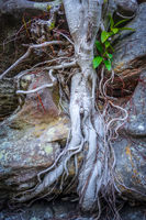 Roots on a rock close-up