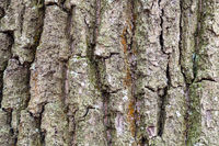 furrowed bark on old trunk of oak tree close up