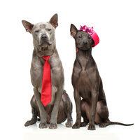 beautiful thai ridgeback dogs
