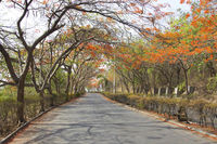 A view of road with gulmohar tree canopy during summer, Pune, India