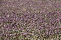 Lamium purpureum, Purpurrote Taubnessel, Purple Deadnettle