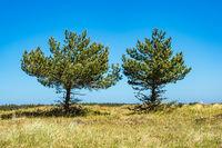 Bäume auf dem Fischland-Darß in Prerow
