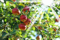 Äpfel 122.jpg